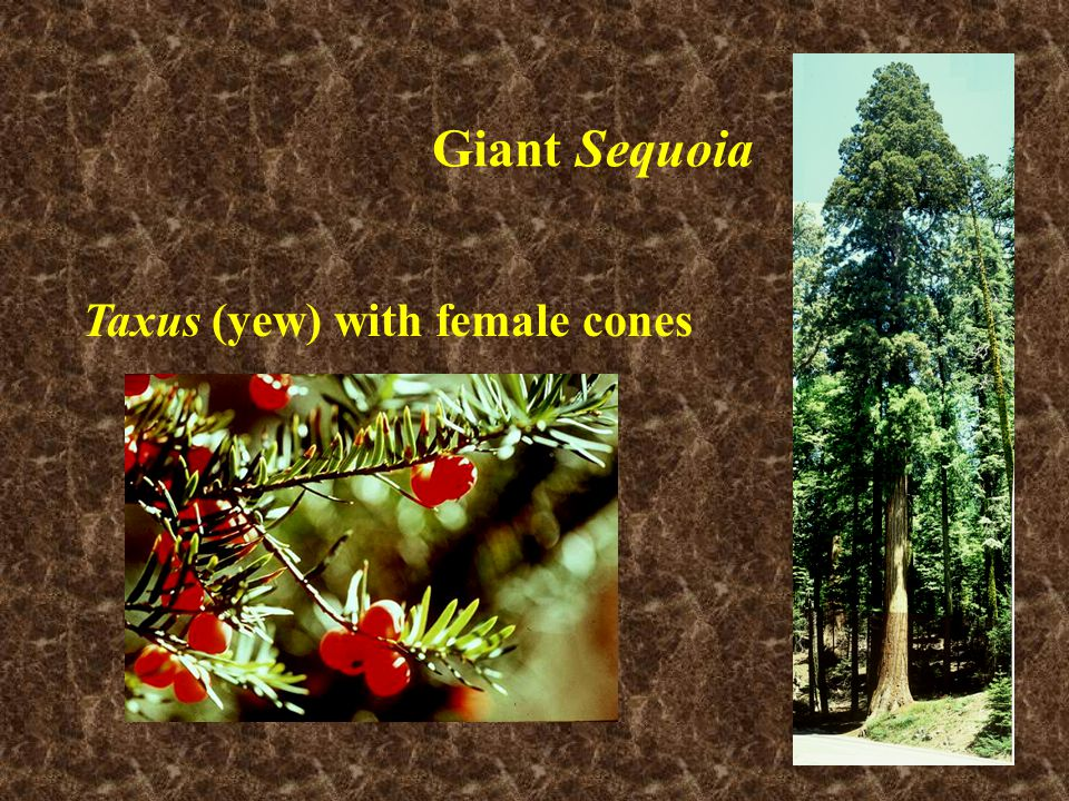 Taxus (yew) with female cones