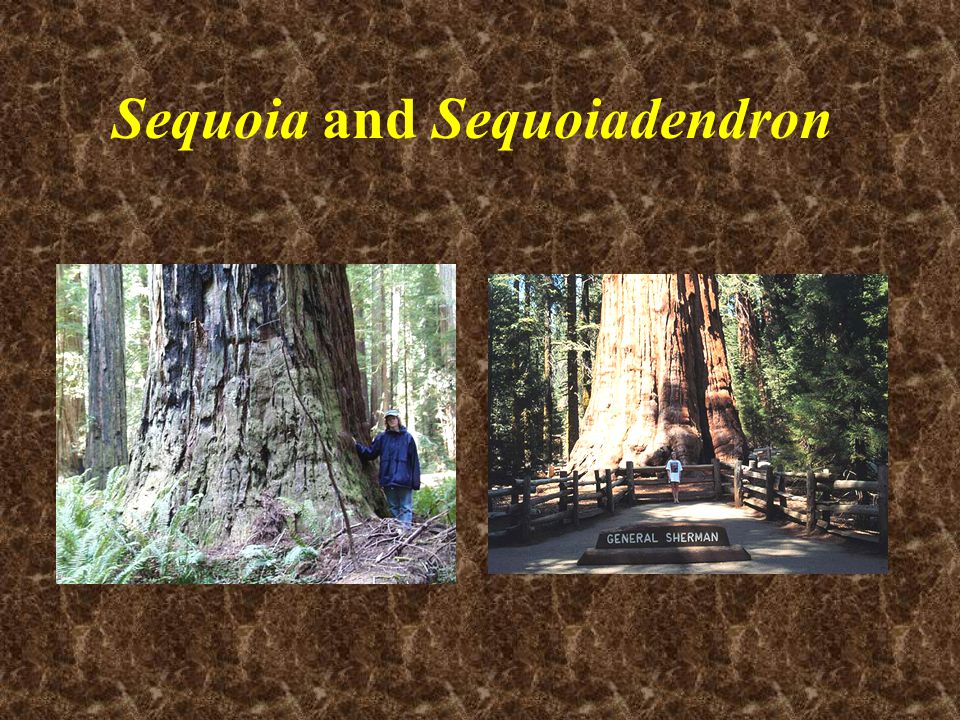 Sequoia and Sequoiadendron