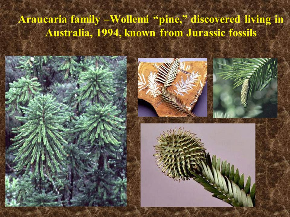 Araucaria family –Wollemi pine, discovered living in Australia, 1994, known from Jurassic fossils