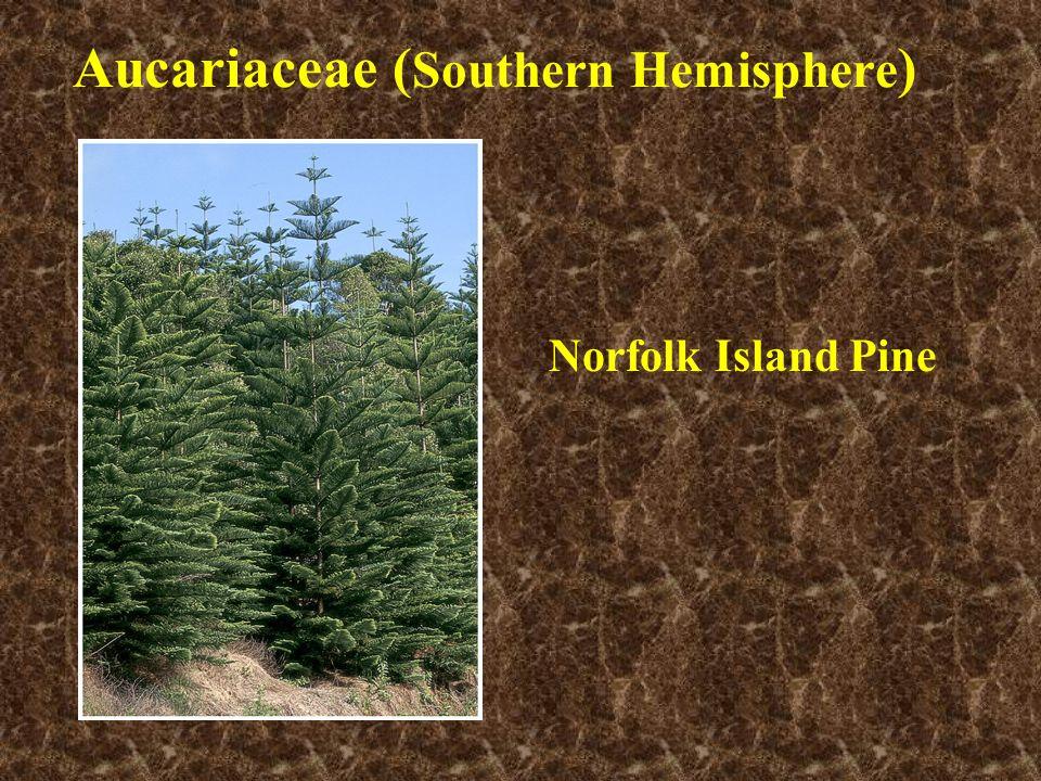 Aucariaceae (Southern Hemisphere)