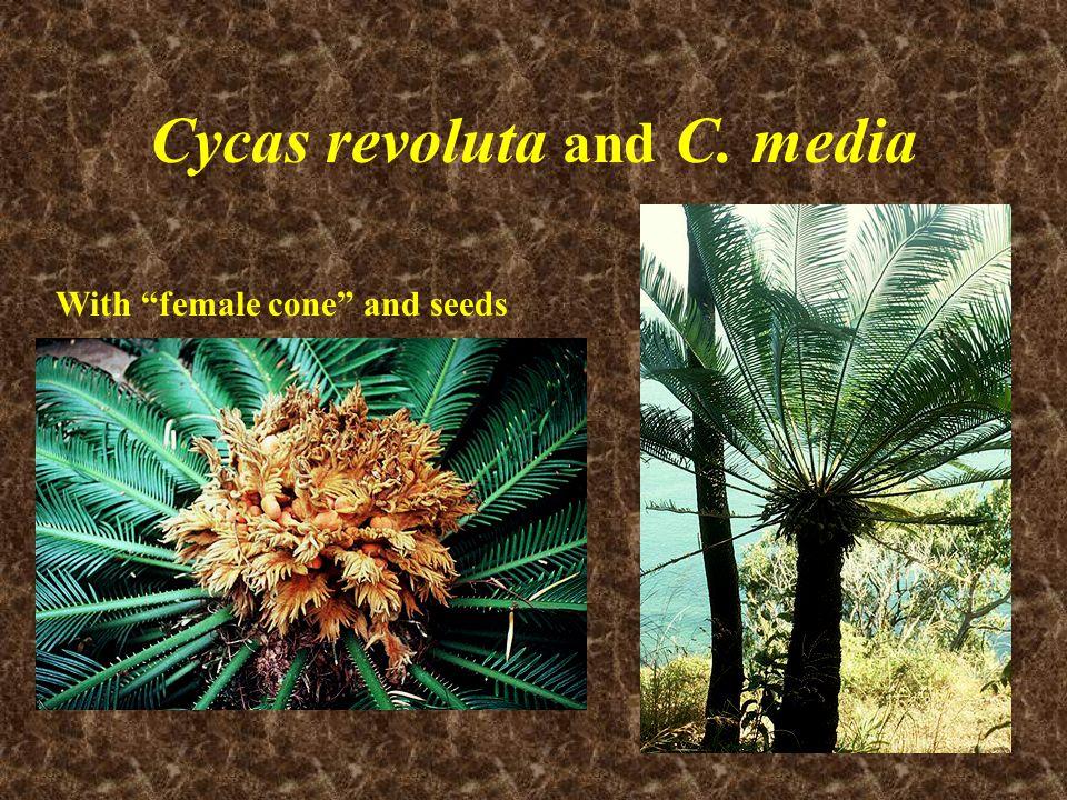 Cycas revoluta and C. media