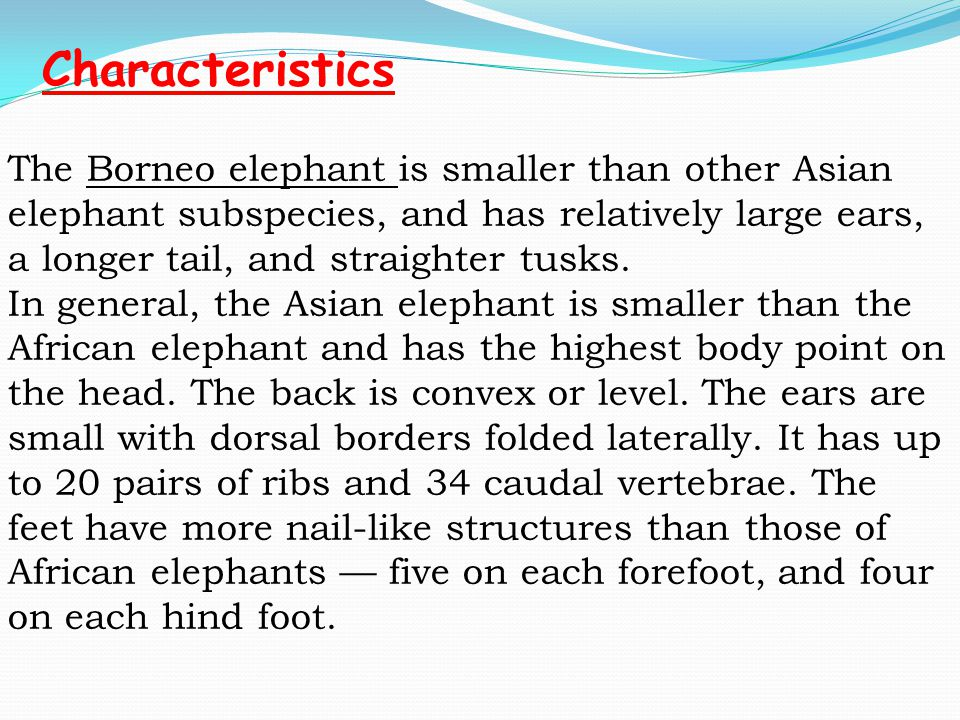 The Borneo elephant is smaller than other Asian elephant subspecies, and has relatively large ears, a longer tail, and straighter tusks.
