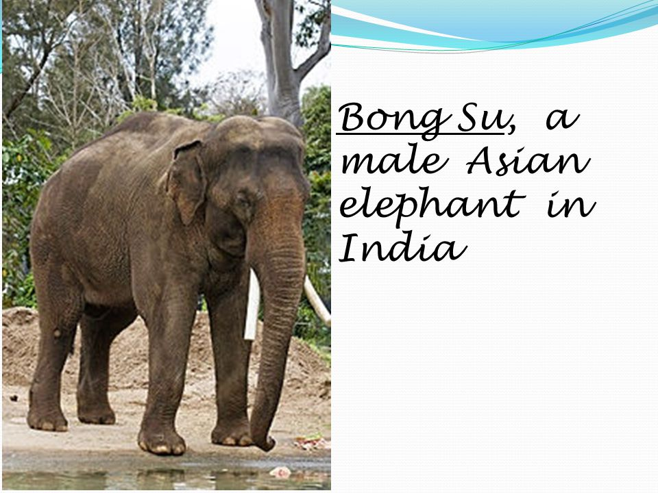 Bong Su, a male Asian elephant in India