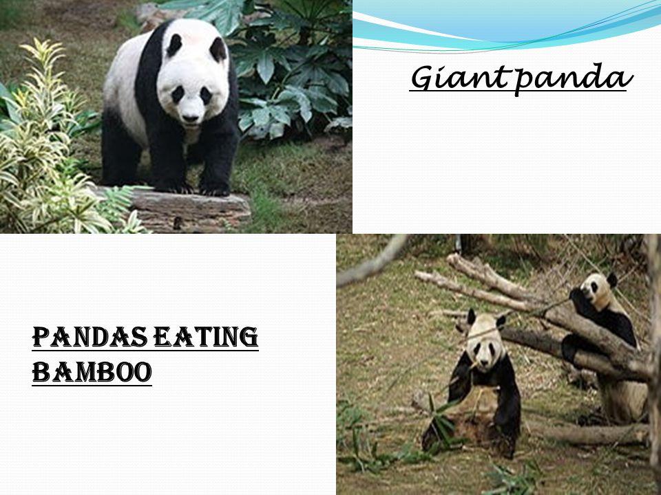 Giant panda Pandas eating bamboo