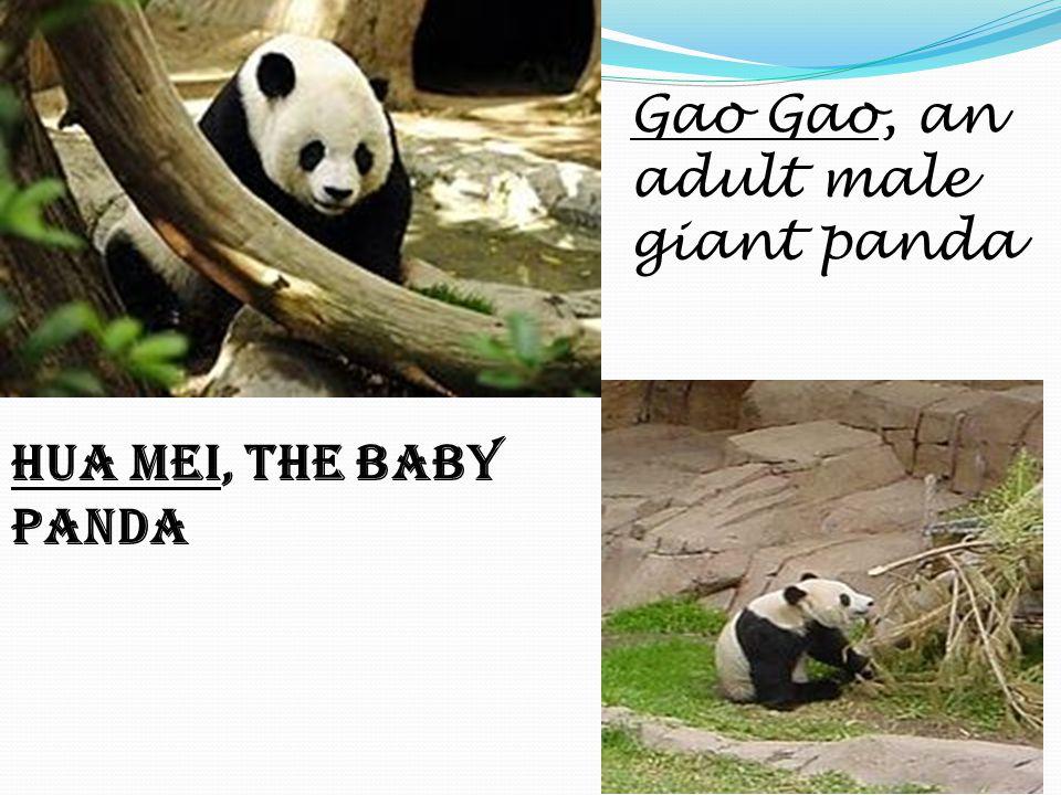 Gao Gao, an adult male giant panda