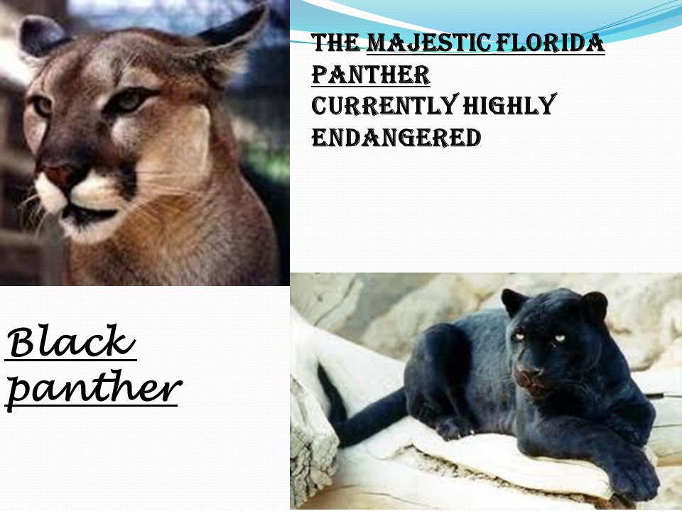 Black panther The Majestic Florida Panther Currently Highly Endangered