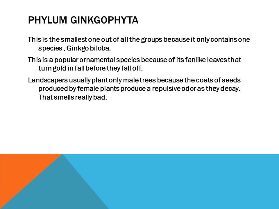 Phylum Ginkgophyta