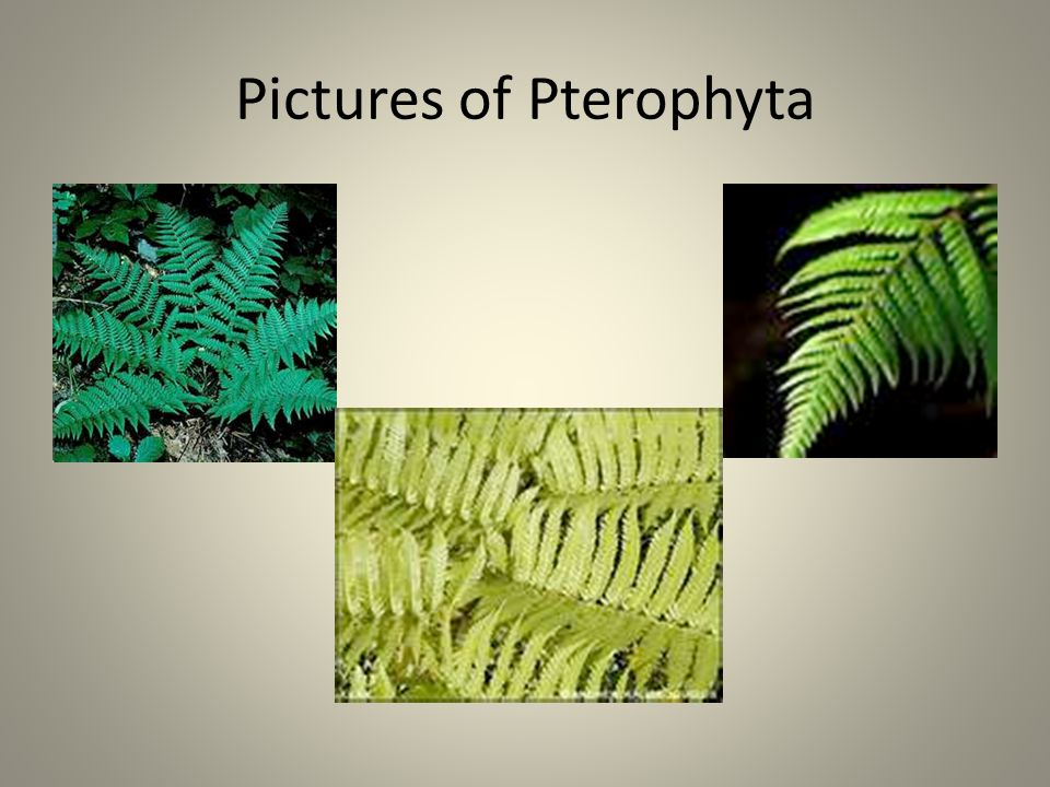 Pictures of Pterophyta