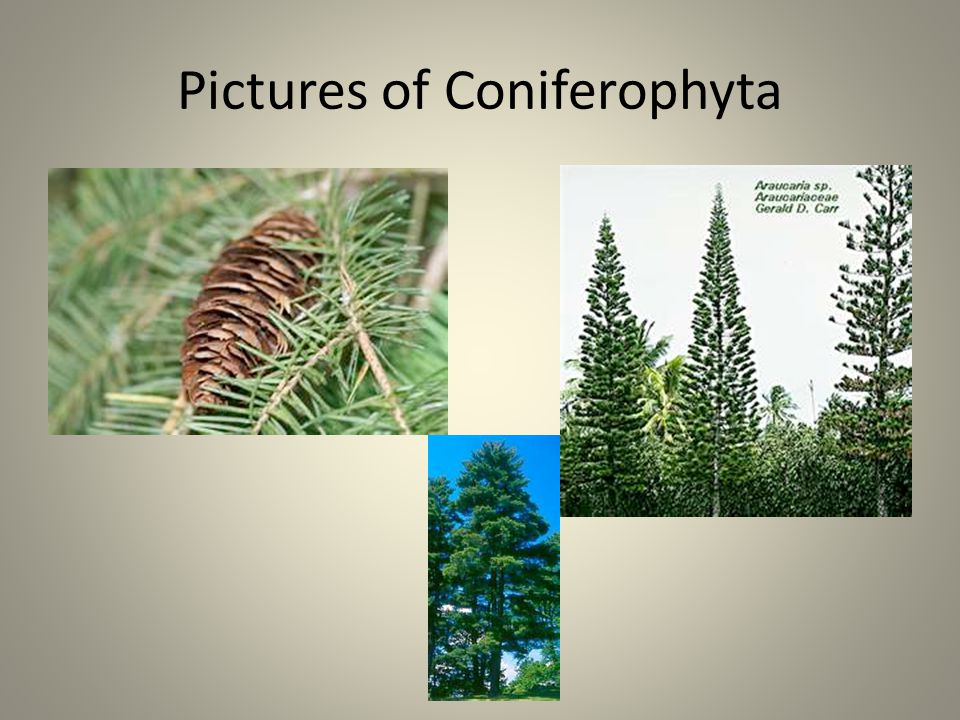 Pictures of Coniferophyta