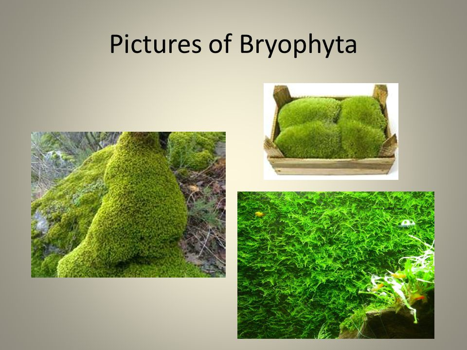 Pictures of Bryophyta