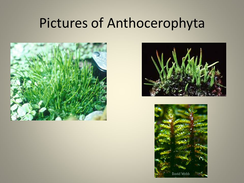 Pictures of Anthocerophyta