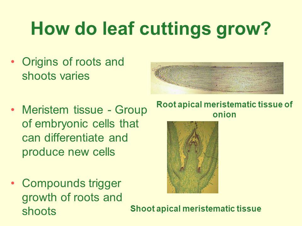 How do leaf cuttings grow