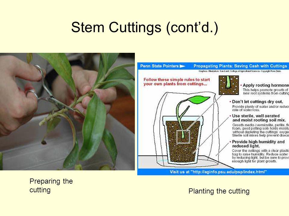 Stem Cuttings (cont'd.)