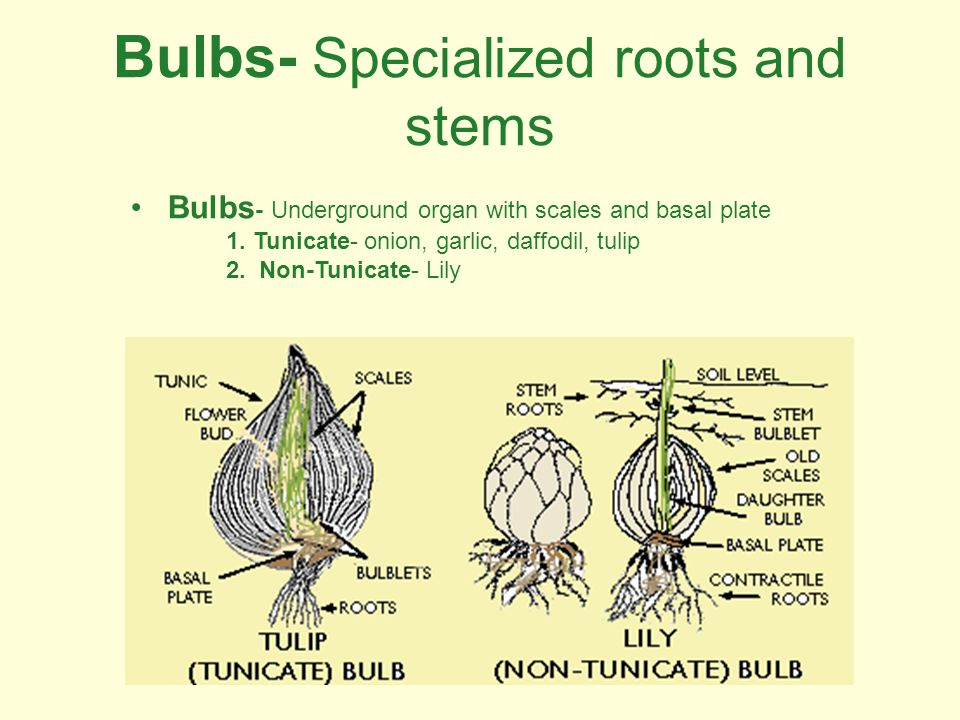 Bulbs- Specialized roots and stems