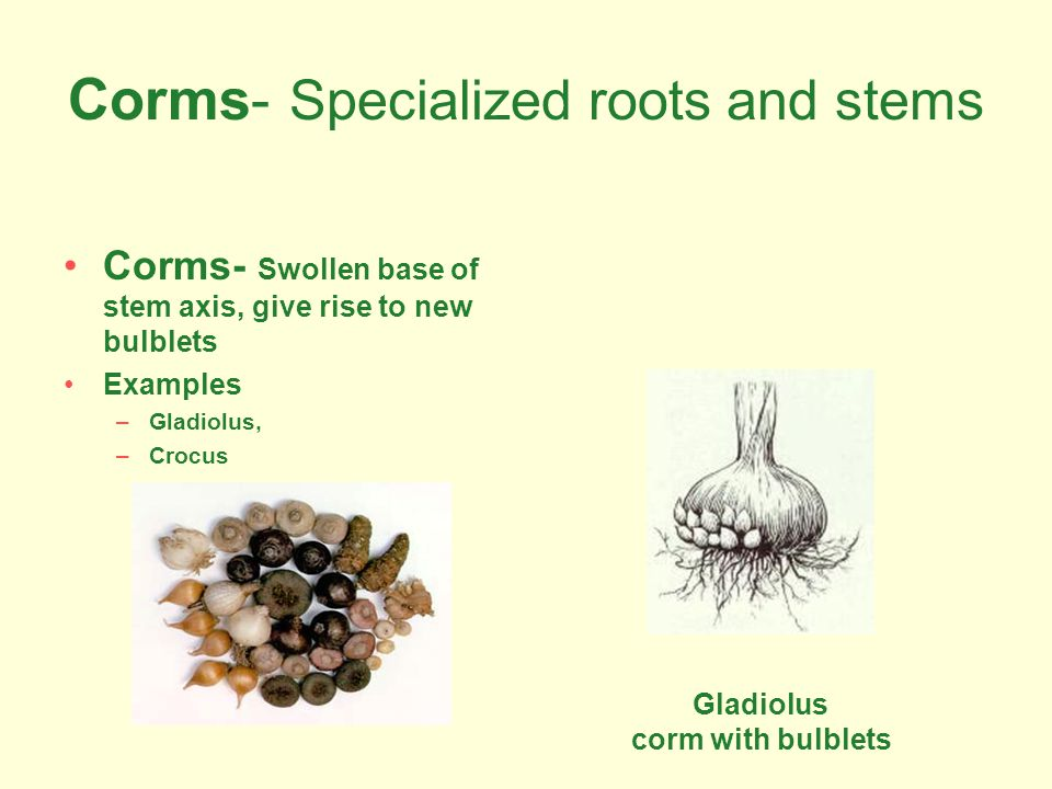 Corms- Specialized roots and stems
