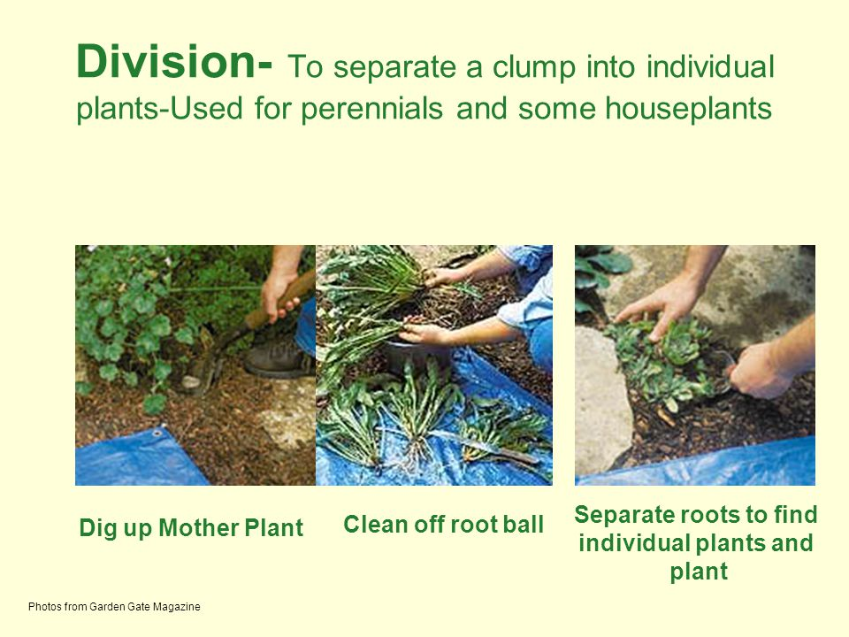 Separate roots to find individual plants and plant