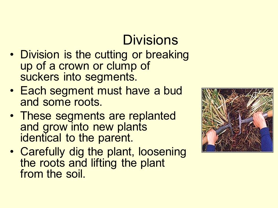 Divisions Division is the cutting or breaking up of a crown or clump of suckers into segments. Each segment must have a bud and some roots.