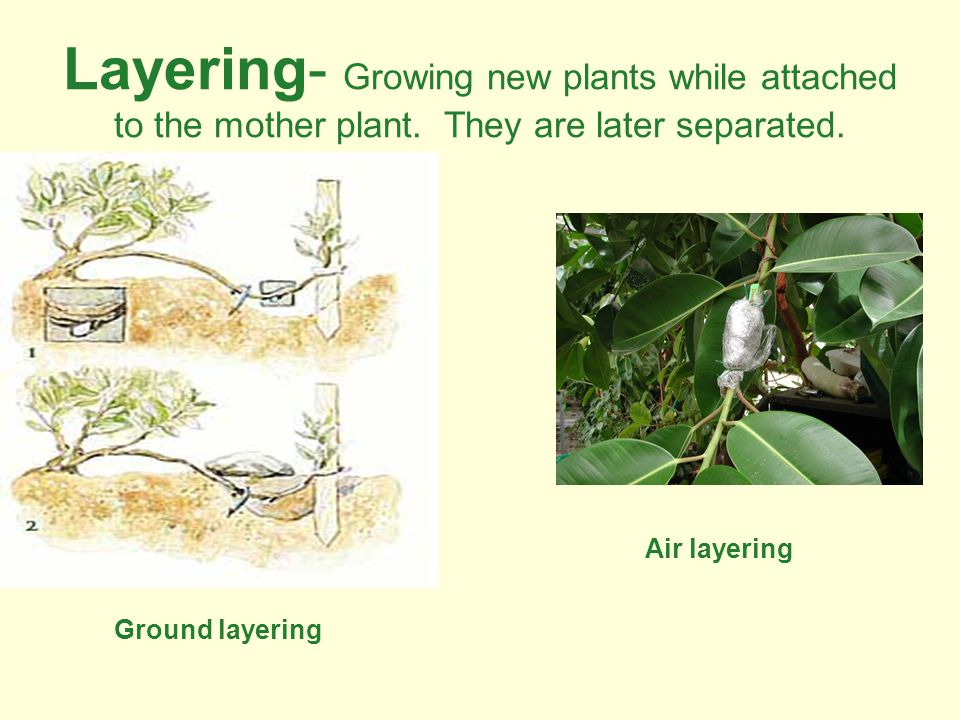Layering- Growing new plants while attached to the mother plant