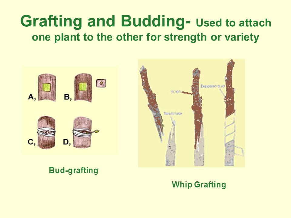 Grafting and Budding- Used to attach one plant to the other for strength or variety