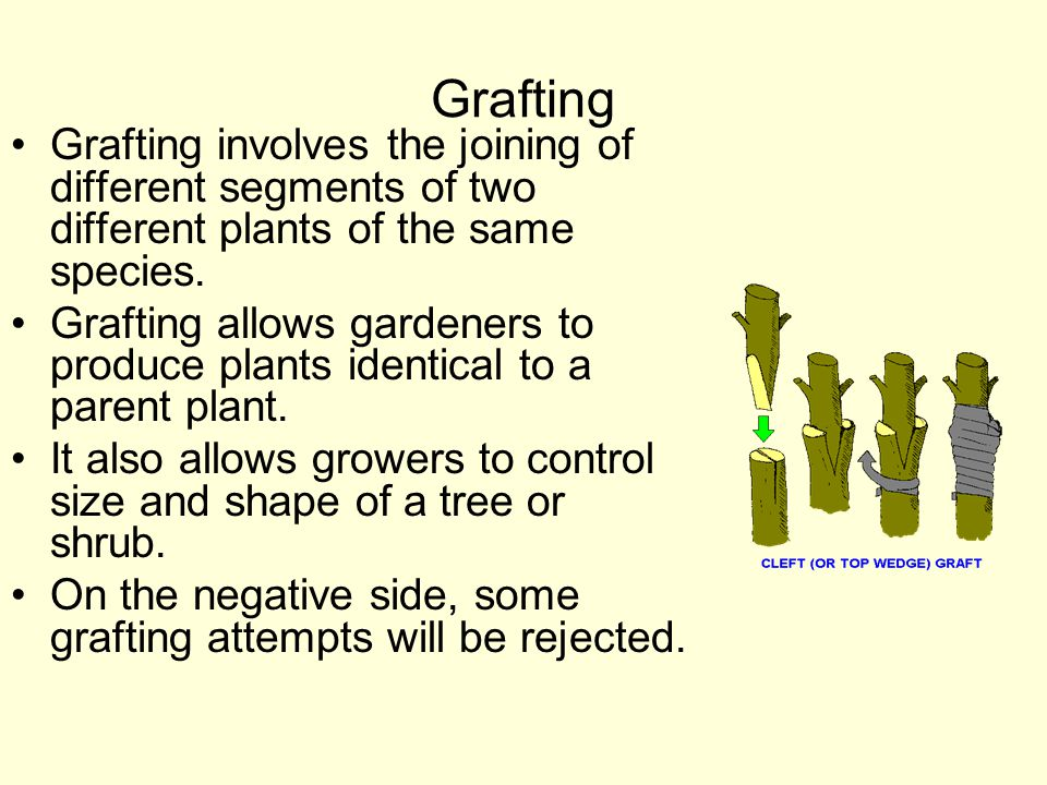 Grafting Grafting involves the joining of different segments of two different plants of the same species.