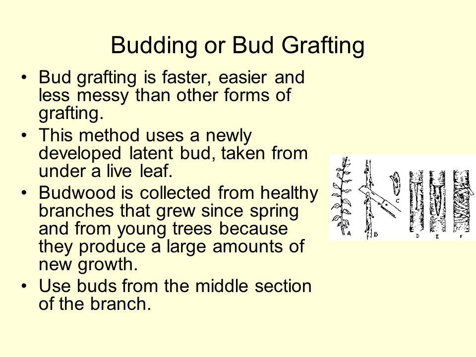 Budding or Bud Grafting