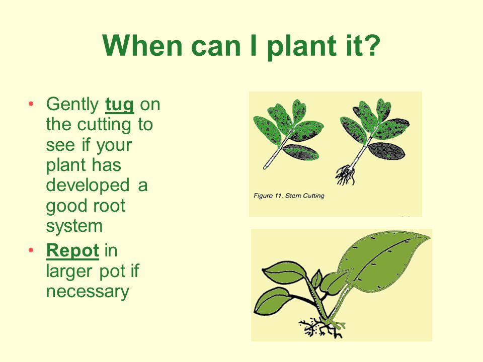 When can I plant it Gently tug on the cutting to see if your plant has developed a good root system.