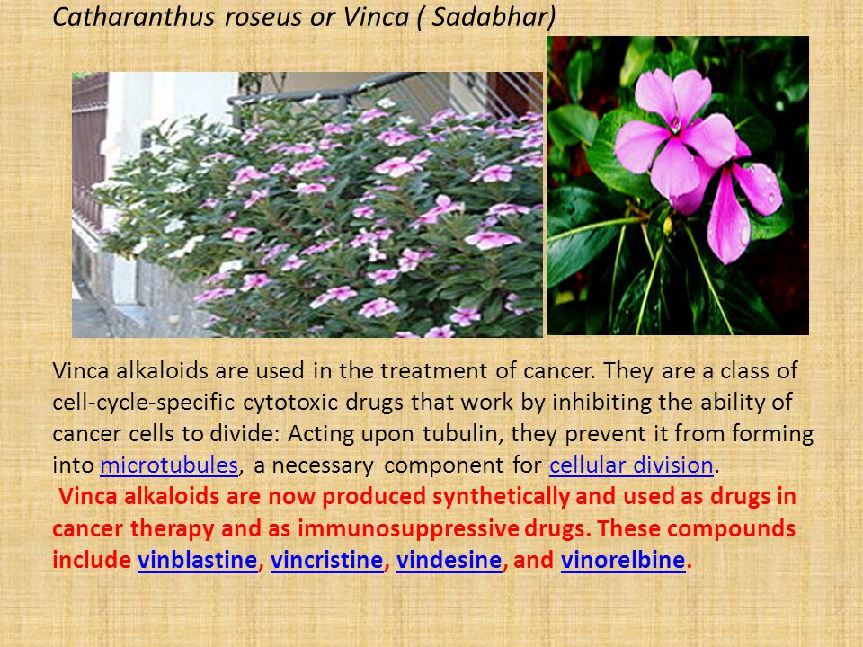 Catharanthus roseus or Vinca ( Sadabhar) Vinca alkaloids are used in the treatment of cancer.