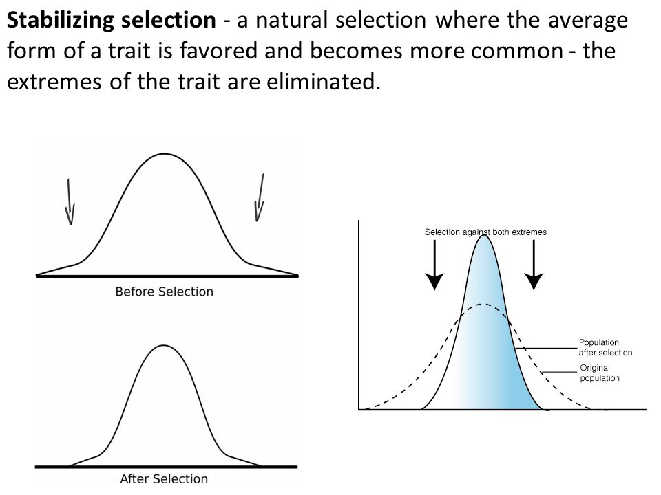 Stabilizing selection - a natural selection where the average form of a trait is favored and becomes more common - the extremes of the trait are eliminated.