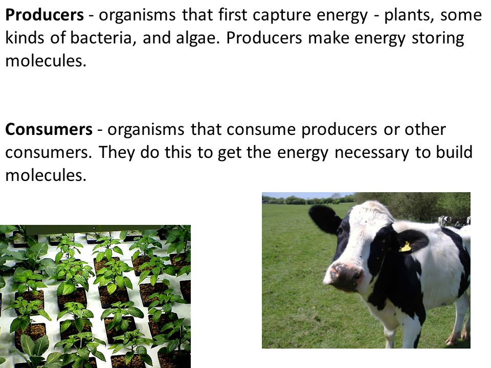 Producers - organisms that first capture energy - plants, some kinds of bacteria, and algae. Producers make energy storing molecules.