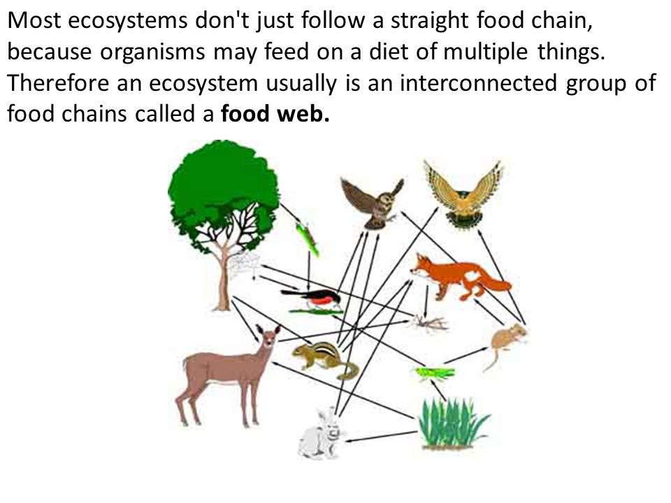 Most ecosystems don t just follow a straight food chain, because organisms may feed on a diet of multiple things.