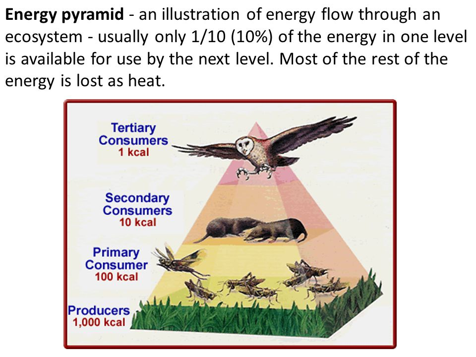 Energy pyramid - an illustration of energy flow through an ecosystem - usually only 1/10 (10%) of the energy in one level is available for use by the next level.