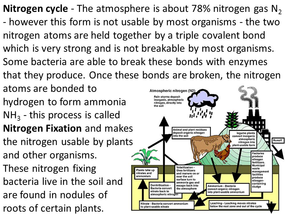 Nitrogen cycle - The atmosphere is about 78% nitrogen gas N2 - however this form is not usable by most organisms - the two nitrogen atoms are held together by a triple covalent bond which is very strong and is not breakable by most organisms. Some bacteria are able to break these bonds with enzymes that they produce. Once these bonds are broken, the nitrogen
