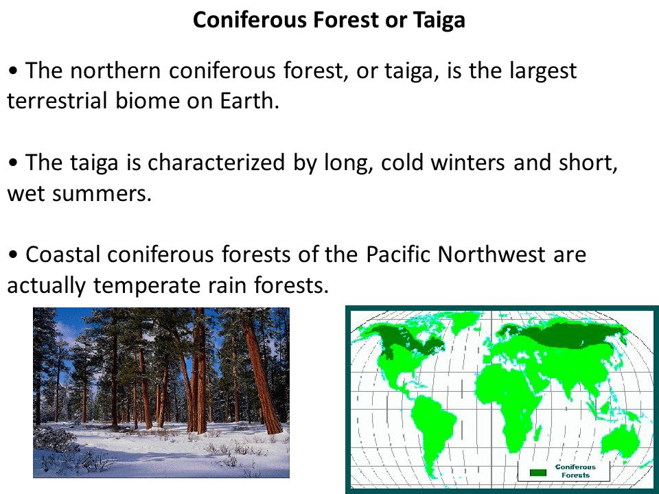 Coniferous Forest or Taiga