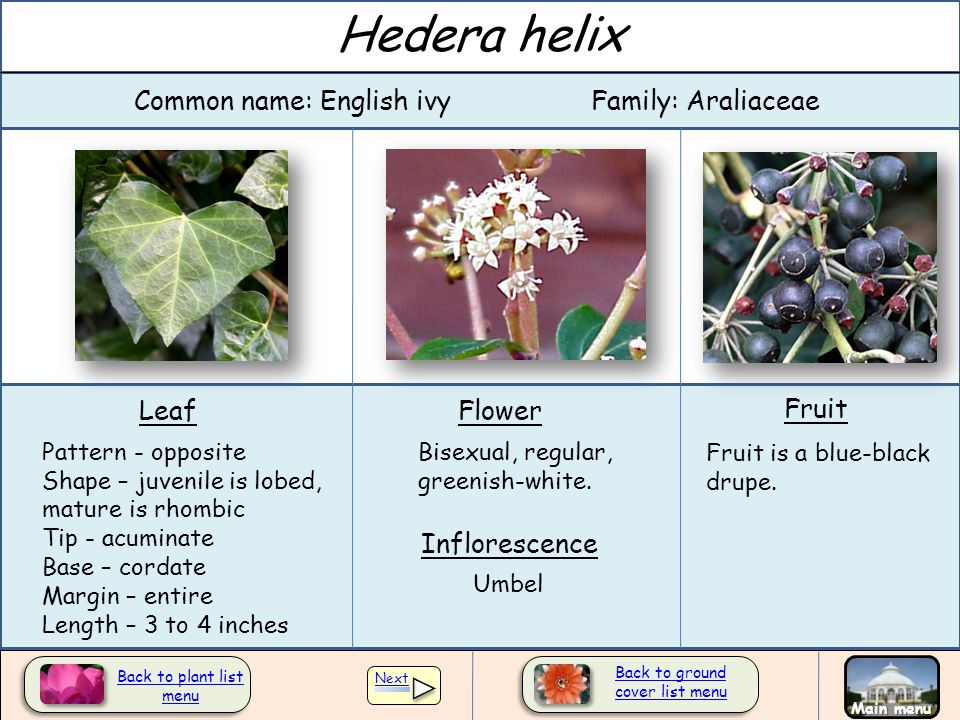 Hedera helix Common name: English ivy Family: Araliaceae Leaf Flower