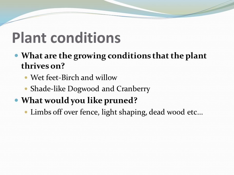 Plant conditions What are the growing conditions that the plant thrives on Wet feet-Birch and willow.