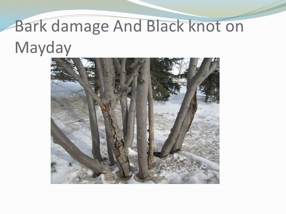 Bark damage And Black knot on Mayday