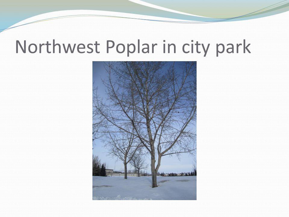 Northwest Poplar in city park