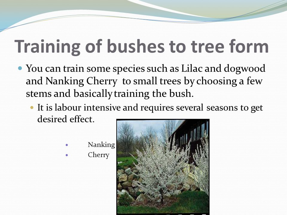 Training of bushes to tree form
