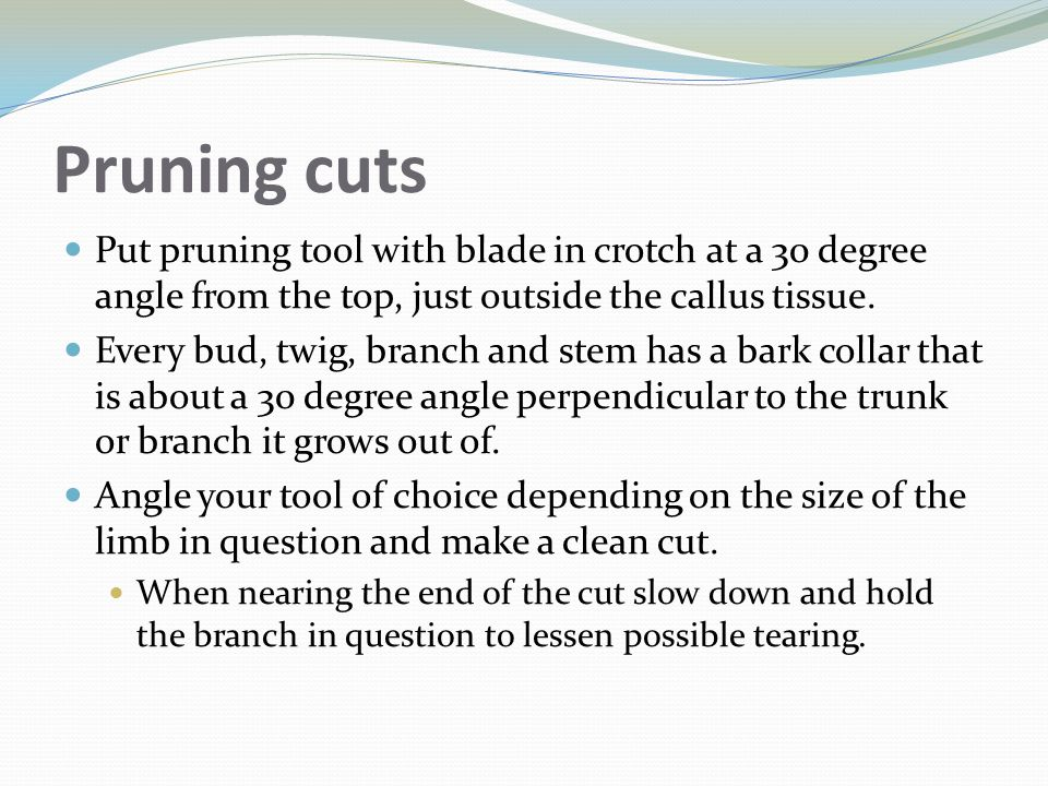 Pruning cuts Put pruning tool with blade in crotch at a 30 degree angle from the top, just outside the callus tissue.