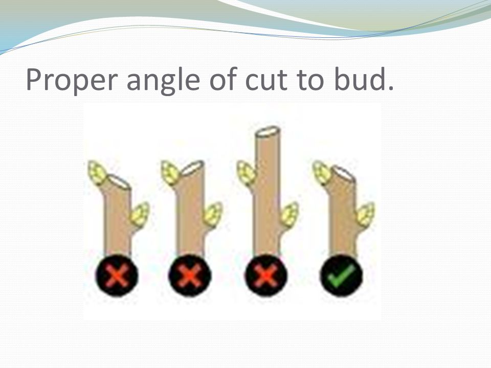Proper angle of cut to bud.