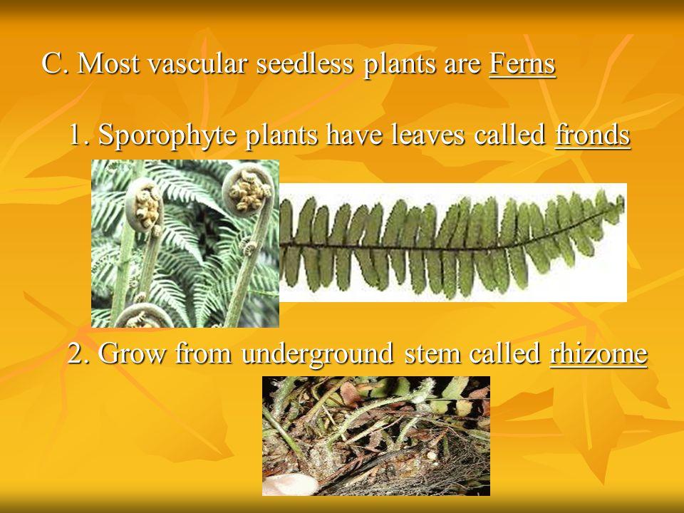 C. Most vascular seedless plants are Ferns