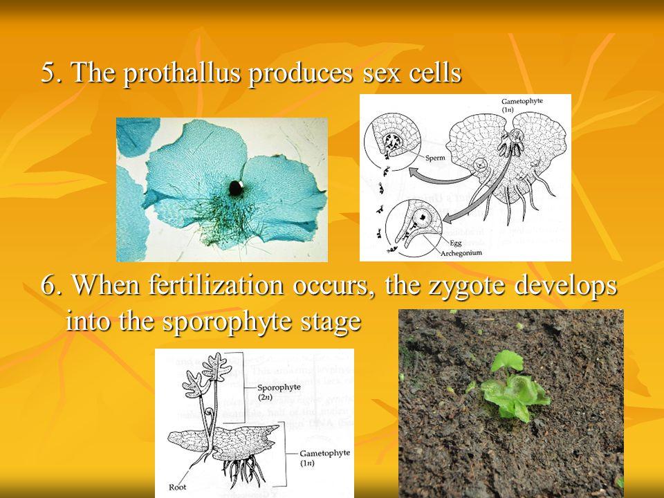5. The prothallus produces sex cells