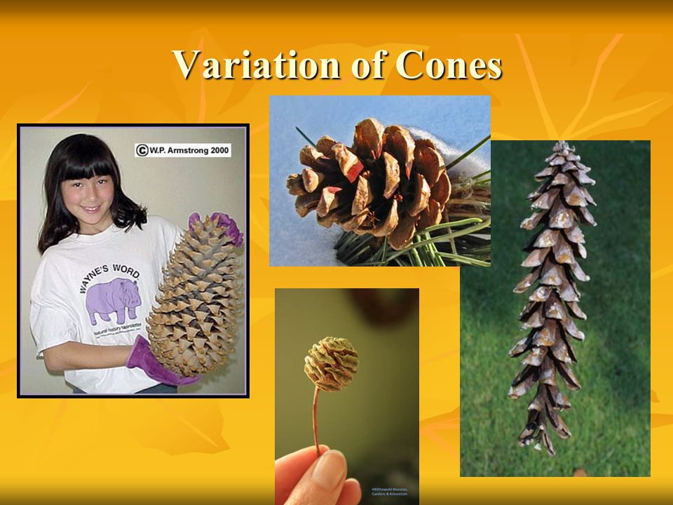 Variation of Cones Red pine (middle top) California redwood (middle bottom) trees can grow tall as 35 story bldg.