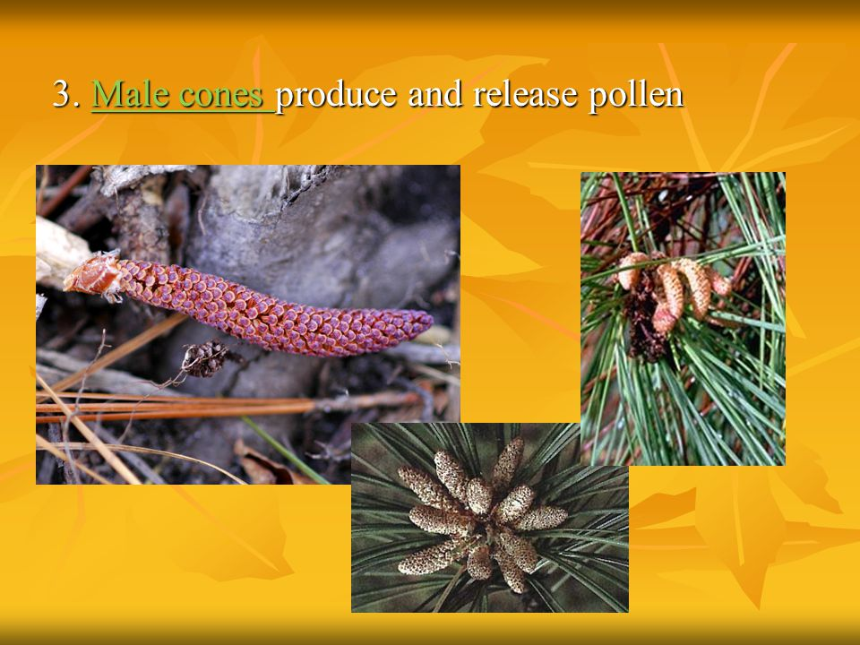 3. Male cones produce and release pollen
