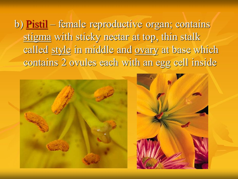 b) Pistil – female reproductive organ; contains stigma with sticky nectar at top, thin stalk called style in middle and ovary at base which contains 2 ovules each with an egg cell inside