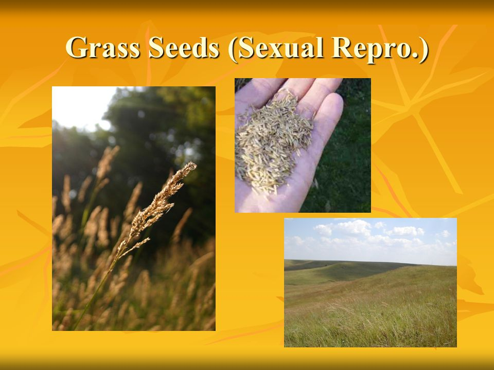Grass Seeds (Sexual Repro.)