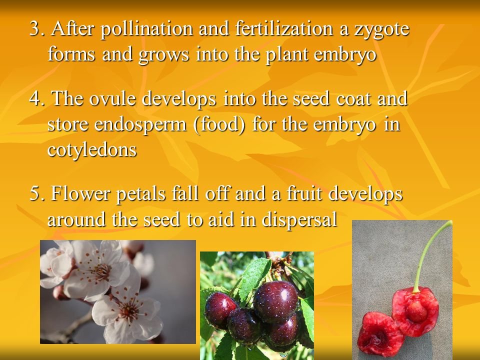 3. After pollination and fertilization a zygote forms and grows into the plant embryo 4.