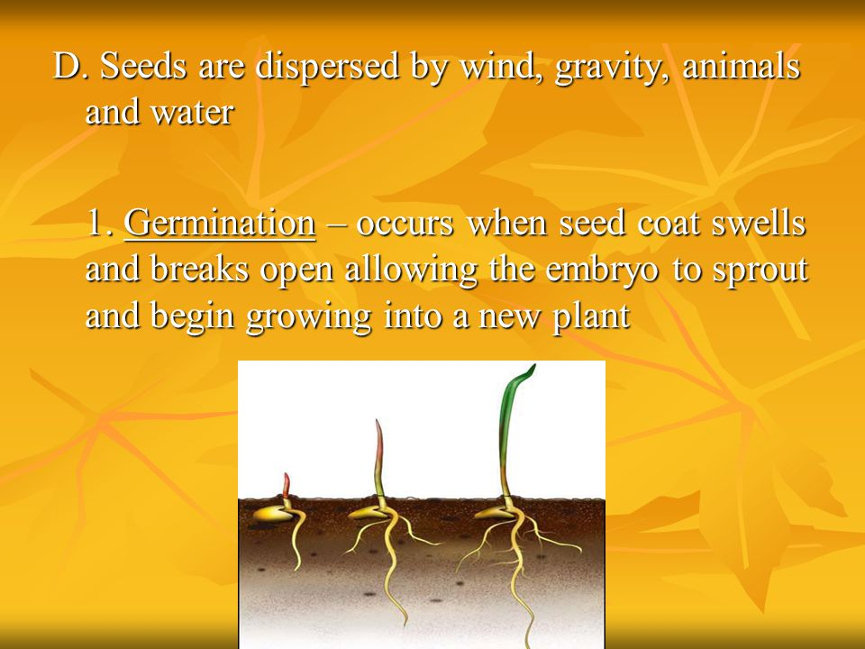 D. Seeds are dispersed by wind, gravity, animals and water 1