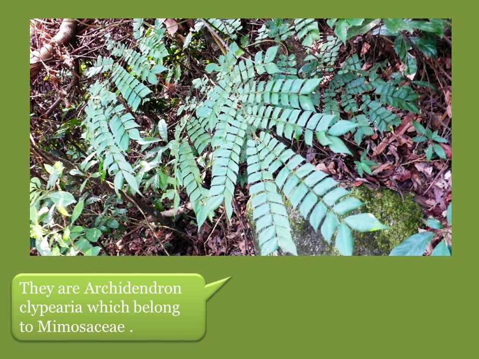 They are Archidendron clypearia which belong to Mimosaceae .