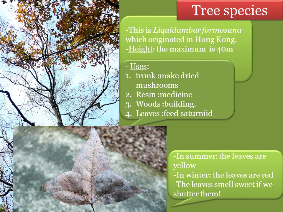 Tree species This is Liquidambar formosana which originated in Hong Kong. Height: the maximum is 40m.